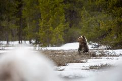 Grizzly Bear Sitting Up in Sagebrush