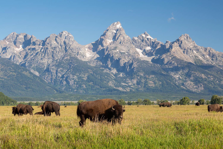 Bison Herd Below Grand Teton
