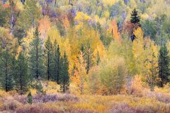 Abstract Fall Colors in Aspen Trees