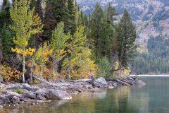 Fall Leaves Above Jackson Lake