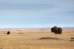 Bison in Prairie Dog Town