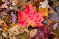 Large Red Maple Leaf