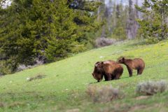 Grizzly Bear Grazing with Cubs