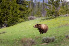 Grizzly Bear in Spring Meadow