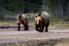 Grizzly Bear on Road