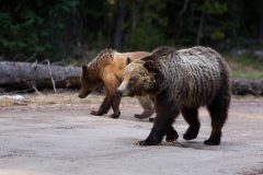 Grizzly Bears on Road
