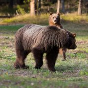 Standing Grizzly Bear Cub
