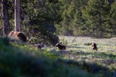 Grizzly Cubs Scouring Meadow