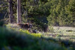 Grizzly Bear and Cubs Above Meadow