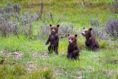 Grizzly Bear Cubs Standing on Hillside
