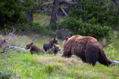Grizzly 399 Returning to Her Cubs