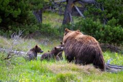Grizzly Cubs Greeting Their Mother