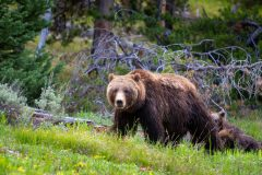 Grizzly Bear Guarding Her Cubs