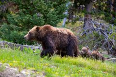 Grizzly 399 Leading Her Cubs Up a Hillside