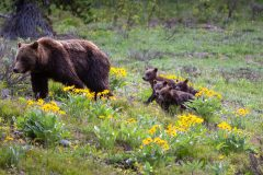 Grizzly 399 and Her Four Cubs