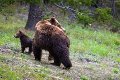 Grizzly Bear Looking Back for Cub