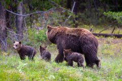 Grizzly Cub Looking Away from Others