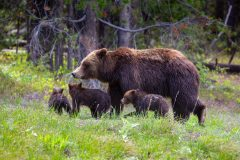 Grizzly 399 Leading Cubs Along a Hilltop