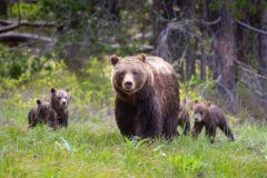 Grizzly 399 Leading Her Cubs Through a Meadow