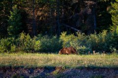 Grizzly 399 and Cubs on River Bank