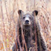 Grizzly Bear Cub Hiding