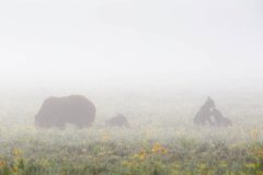 Grizzly Cubs Wrestling in Fog