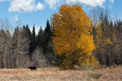 Grizzly Bear and Fall Leaves