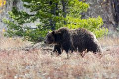 Grizzly Bear 399 in Meadow