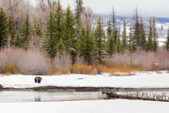 Grizzly Bear Along River