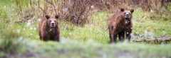 Grizzly Bear Cubs in Snowfall