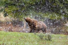 Grizzly Bear Shaking Off