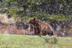 Grizzly Bear in Snow Storm