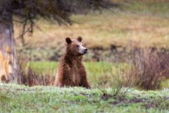 Grizzly Bear Cub Standing Up