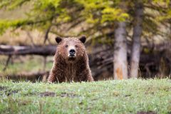Grizzly Bear Behind Ridge