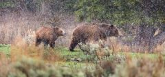 Grizzly Bears in Snowfall