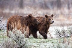Grizzly Bear Cubs in Rain