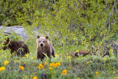 Grizzly Bear Cub in Wildflowers