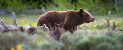 Grizzly Bear #399 and Cubs