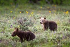 Grizzly Bear Cubs in Wildflowers