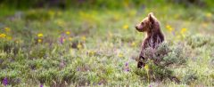 Grizzly Bear Cub Standing