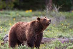 Grizzly Bear #399 in Wildflowers