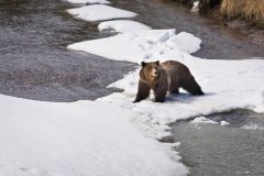 Grizzly Bear #399 on Ice