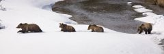 Grizzly bear #399 of Grand Teton National Park and her three cubs near Moran, Wyoming.  All cubs are three years old as of photo capture in April 2008.  She was roughly one month away from abandoning the cubs.