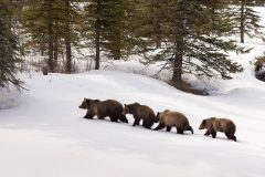 Grizzly Bear and Three Cubs