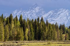 Grizzly Bear #399 and The Grand Teton