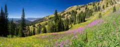 Fireweed Covering Alpine Meadow