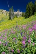 Fireweed and Larkspur on Mountainside