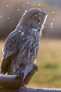 Backlit Great Gray Owl