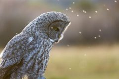 Great Gray Owl and Bugs