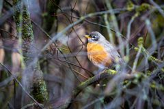 Robin in Branches